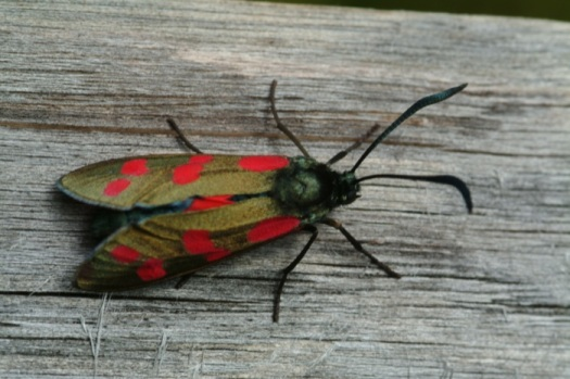 6-spot burnet moth (Zygaena filipendulae) - one of our most colourful day-flying moths - breed on our chalk downland in the Wildlife Garden