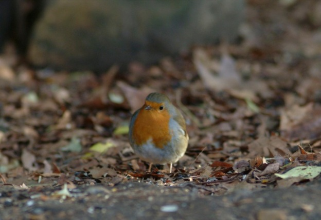 The ever opportunistic robin