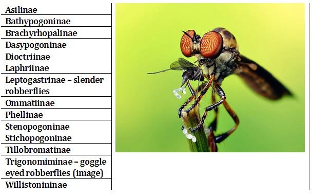 Subfamilies within Asilidae (image is Tigonomiminae © Thomas Shahan)