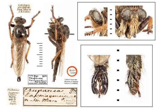 The male Pegesimallus teratodes with his rather impressive genitalia