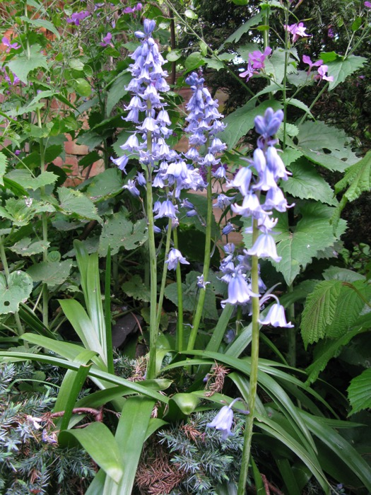 Spanish bluebell (Hyacinthoides hispanica) in an urban garden in south London. (Image © Naomi Lake)