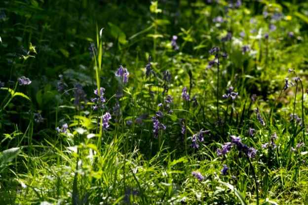 More bluebells in our Wildlife Garden