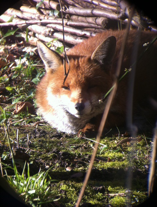 Our male fox relaxing in the Garden (Image © Daniel Osborne)