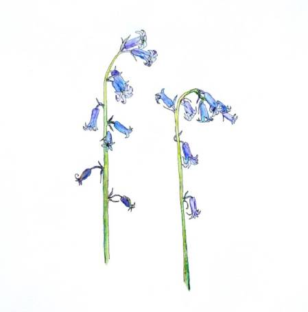 Bluebell illustration. © Sally Hyslop