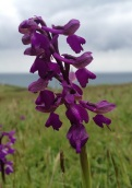 Green-winged orchids (Anacamptis morio) at Stonebarrow Hill
