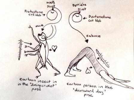 A rather useless diagram showing the end destination for the blastopore in both protostome and deuterostome blastocysts
