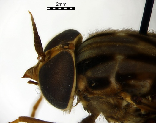 Figure 13. Opetiops alienus – check out not only the hairy eyeballs but also the beak!