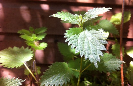 Commom nettle (Urtica dioica)