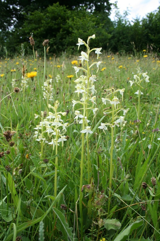 Its a last chance to see the greater butterfly-orchid (Platanthera chlorantha). © Mike Waller.