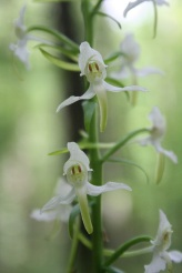 The lesser butterfly-orchid (Platanthera bifolia) can be identified by its parrallel pollinia. © Mike Waller.