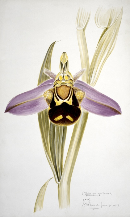 The bee orchid (Ophrys apifera). Watercolour by Arthur Harry Church, 17 June 1913.