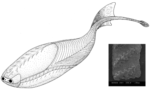 A line drawing of the reconstruction of Sacabambaspis and a photo of its fossil scale inset