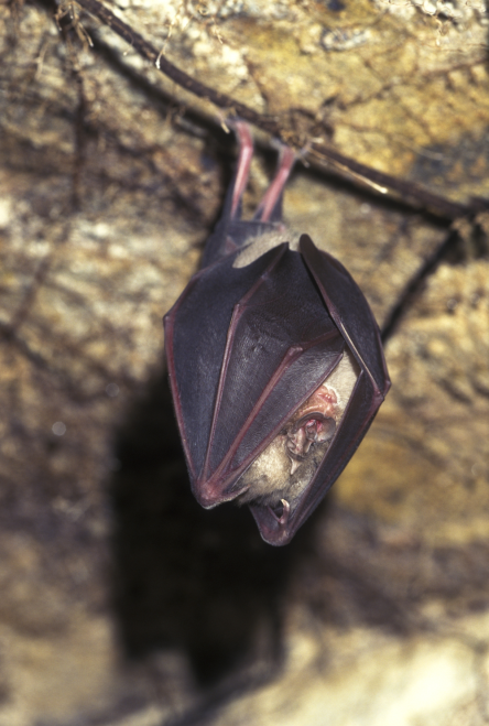 Photo showing the bat hanging from its perch