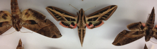 Photo showing hawkmoths in a drawer