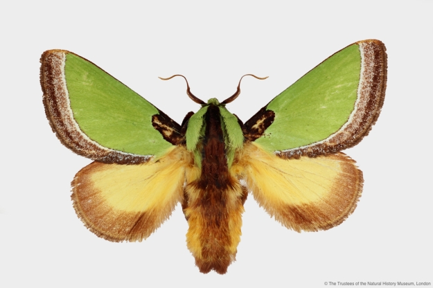 Photo showing the Parasa repanda moth from above.