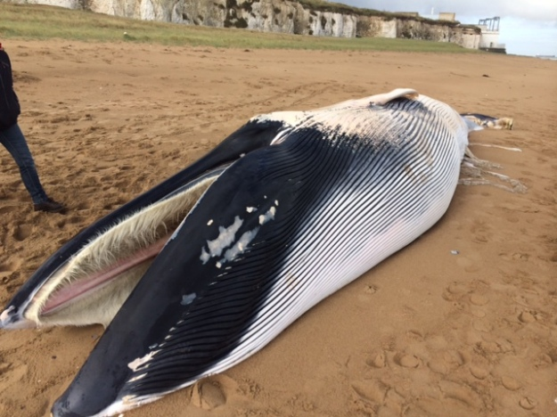 11m long black whale, with white underside, stranded on beach, with mouth open. Long hairs of filter feeding apparatus visible.