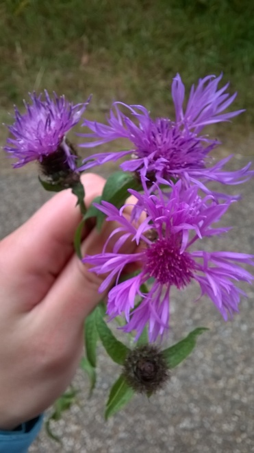 Photo of 3 different flower heads from Centaurea nigra