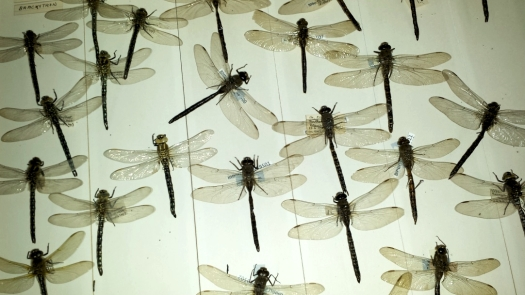 Photo showing close up of dragonflies in a cork drawer
