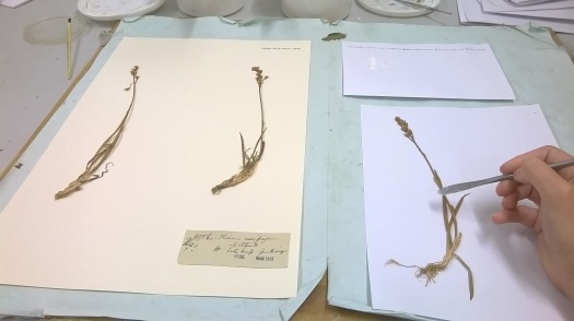 Photo showing Sally's hand lifting a specimen onto a new sheet