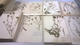 Photo showing many herbarium sheets neatly sorted into piles