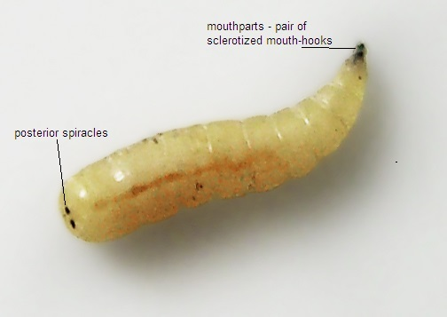 Photo of a larva with posterior and mouthparts labelled