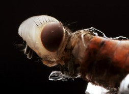 Photo showing a side view of the flies head with the air sac inflated