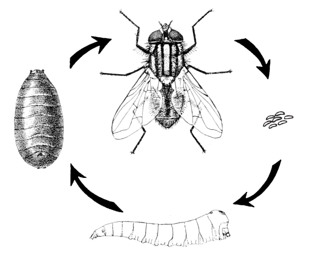 musca_domestica_-_life_cycle1