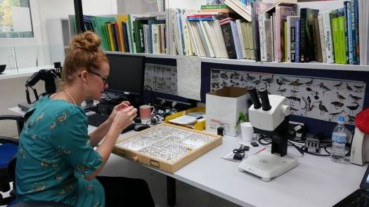 Photo of Chloe sitting at her desk with a drawer full of the re-curated specimens in their trays