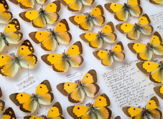 Close crop of a photo of a drawer of pinned clouded yellow butterflies with QR code and hand written labels visible