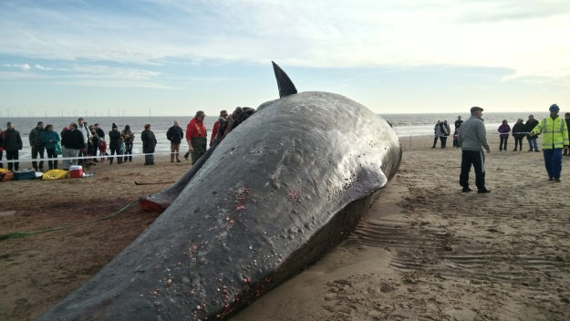 Tail and body of sperm whale, with scientists stood next to expose intestines.