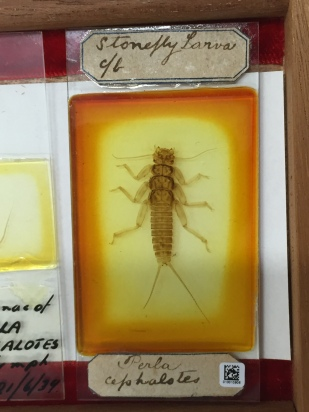 Microscope slide with a stonefly