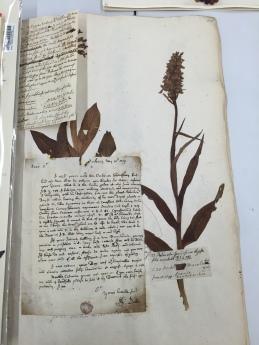 Military orchid herbarium sheet