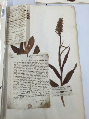 Military orchid herbarium sheet