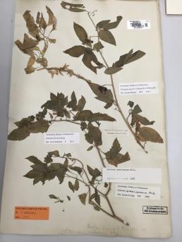 Solanum herbarium sheet