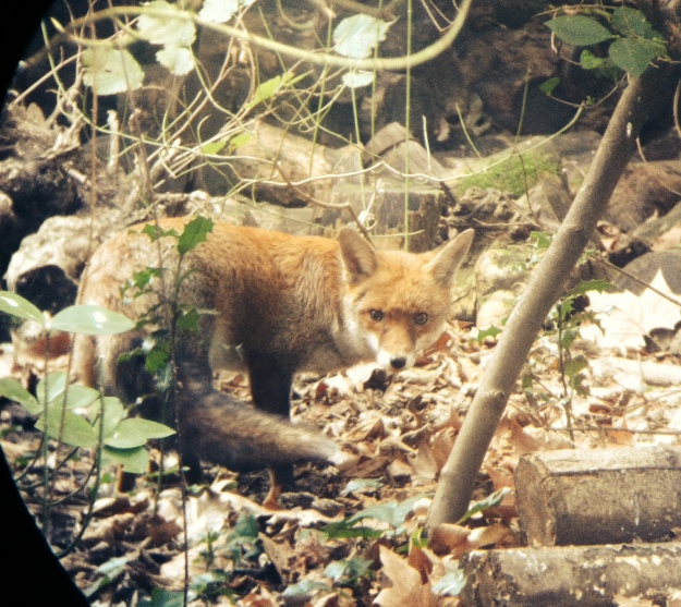 Photo of a young fox facing to the right but with head turned and looking straight at the camera