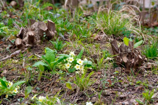 Photo showing a small cluster of flowers between two copied stumps