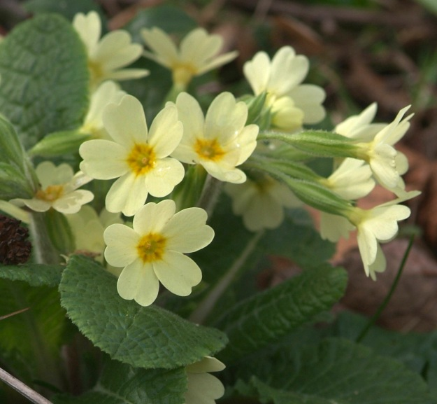 Close up photo of a flowering primrose showing its green leaves and pale yellow flowers