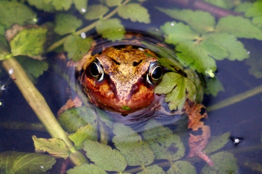 Photo of a frog resting on an aquatic plant, with its head poking through the surface of the water