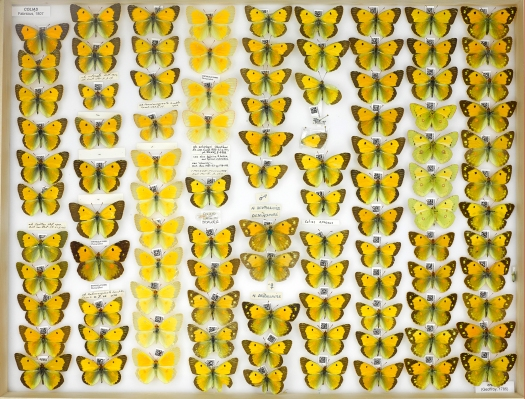 Photo from overhead of the drawer containing 9 columns of brightly coloured butterflies with their accompanying QR code labels.