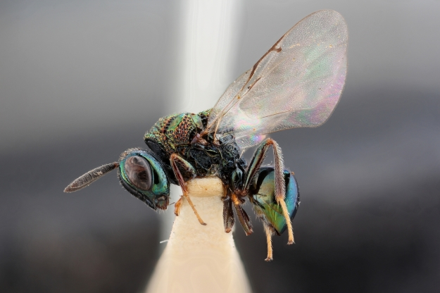Insect with antennae, large eyes, wings and a multicoloured metallic body.