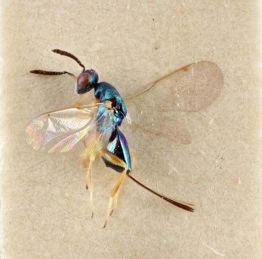 Photograph (magnified) of the iridescent chalcid wasp, lying on its side on a card mount.