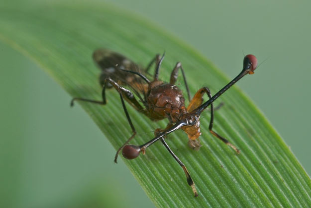 stalk-eyed-fly