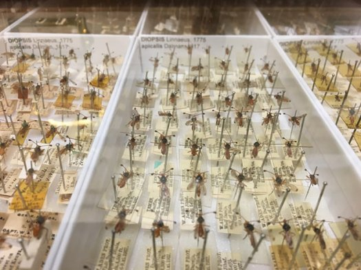 Trays of pinned flies