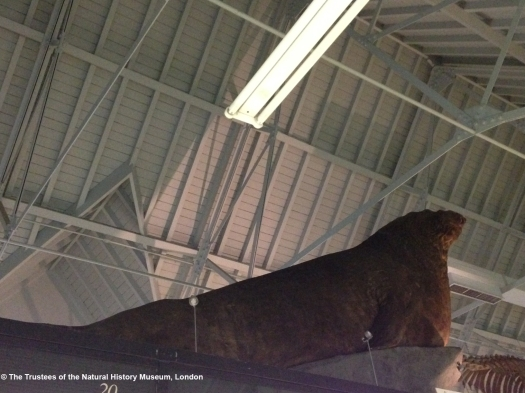 Photo showing the animal from its side and below, with the roof of the Museum visible above.