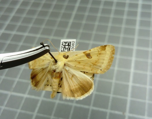 Photo showing a pinned moth close up with its QR code digital label in view underneath. The pin is being held in pincers.