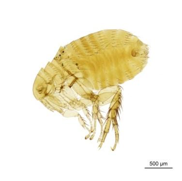 The plague vector flea, Xenopsylla cheopis