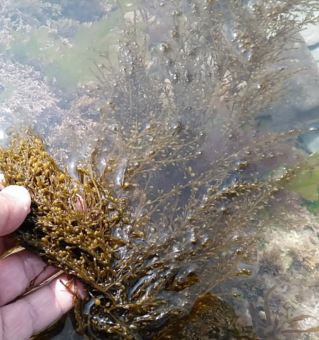 Photo showing a person lifting the bottom left fronds of the seaweed that is otherwise lying submerged in a rock pool