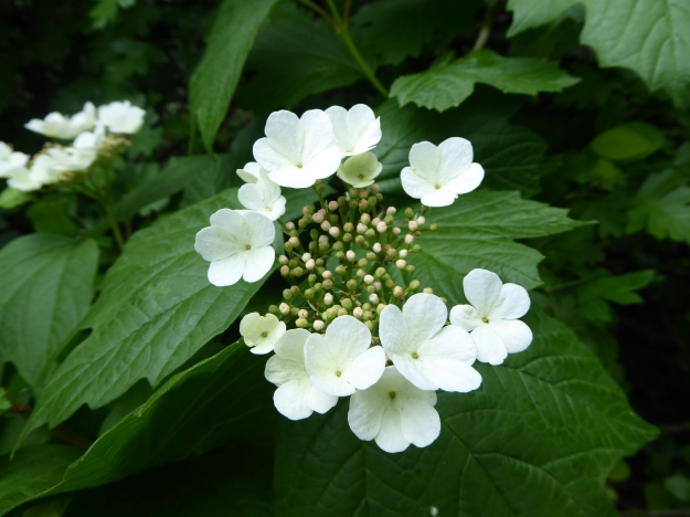 Photo with a circle of emerging white flowers in the centre surrounding buds, with green leaves in the background.