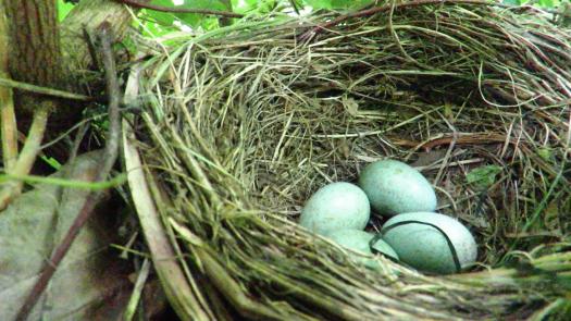 Photo dominated by the circular shape of the nest woven from grass and twigs on the right two thirds of the image, with 4 pale cyan coloured dappled eggs lying in its centre.