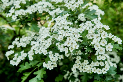 Photo dominated by tens of the small white flowers of the hawthorn, with the green foliage visible behind.